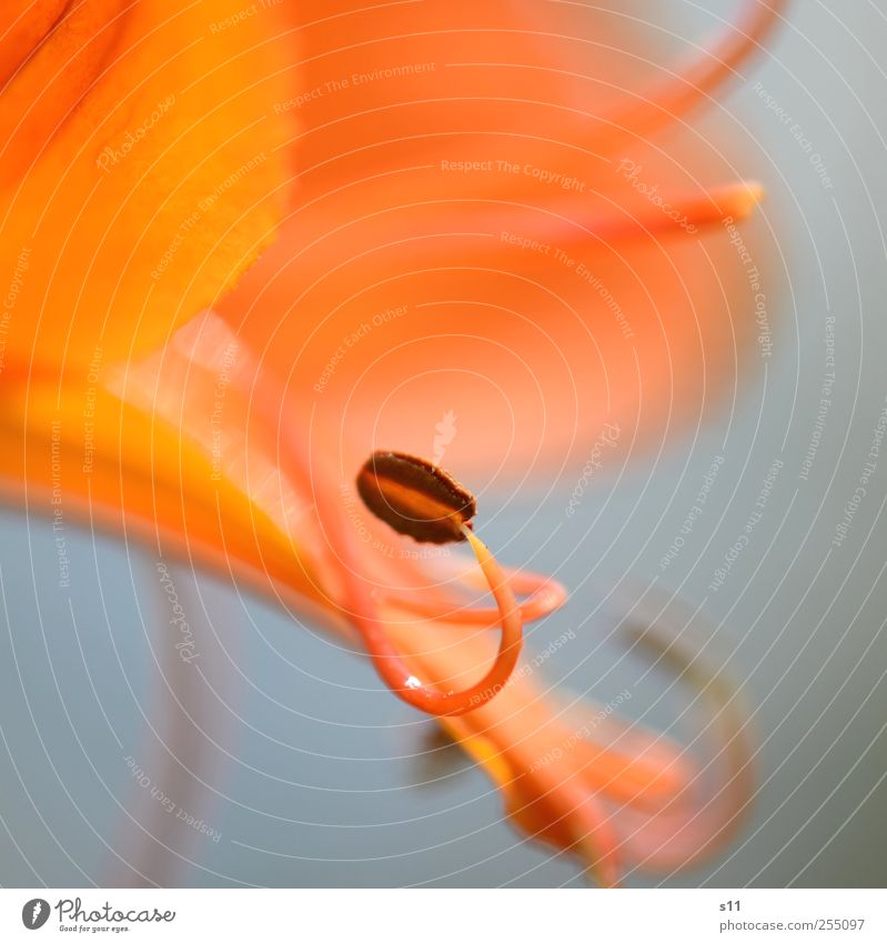 sinnlich Natur Pflanze schön Sommer Blume Umwelt gelb Blüte orange elegant ästhetisch Blühend Vergänglichkeit Duft exotisch Blütenblatt