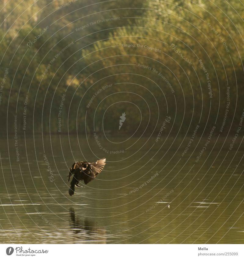 Bremsen! Umwelt Natur Landschaft Tier Wasser Teich See Vogel Kormoran 1 fliegen natürlich Landen Farbfoto Außenaufnahme Menschenleer Tag