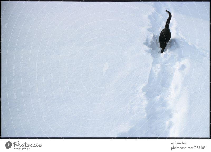 Anton im Schnee Natur Winter Eis Frost Wege & Pfade Tier Haustier Katze 1 frieren glänzend füttern laufen kalt natürlich trashig Freude träumen trampelfad