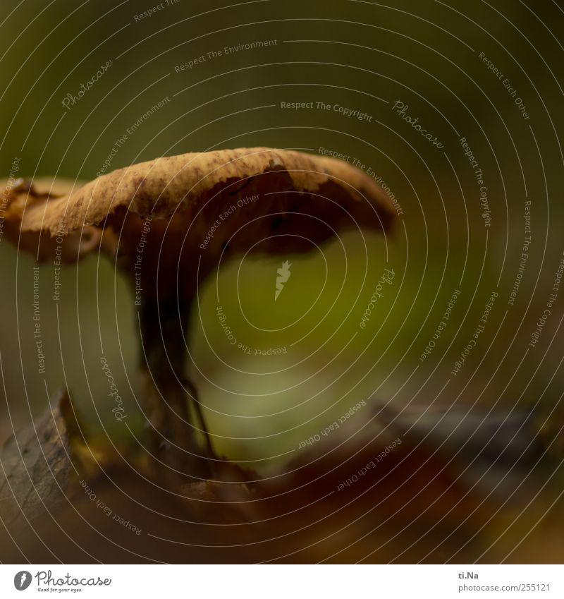 Fruchtkörper Pflanze Tier Erde Herbst Pilz Wachstum warten alt Farbfoto Gedeckte Farben Nahaufnahme Makroaufnahme Menschenleer Schwache Tiefenschärfe