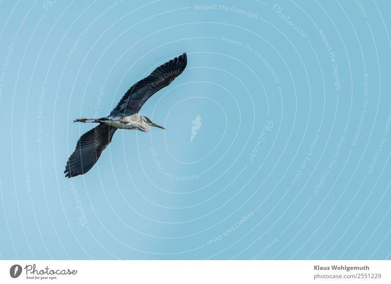 Gleitflug eines Graureihers Umwelt Natur Tier Himmel Wolkenloser Himmel Seeufer Strand Moor Sumpf Teich Fluss Vogel Reiher 1 fliegen blau grau schwarz Farbfoto