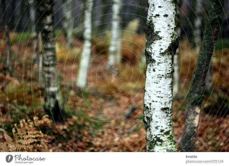 Birkenwald Umwelt Natur Pflanze Herbst Baum Farn Wald wandern braun weiß Abenteuer Freiheit Tourismus Ferne Spaziergang dunkel gruselig unheimlich unsicher