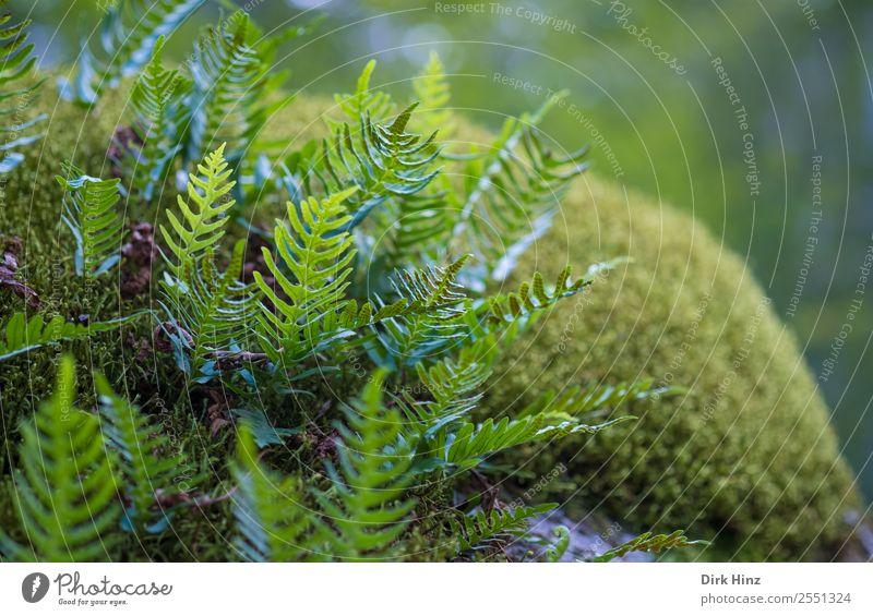 Farn auf Moosteppich Umwelt Natur Pflanze Wald Urwald Wachstum frisch natürlich grün Umweltschutz Waldboden unberührt Farbfoto Außenaufnahme Nahaufnahme