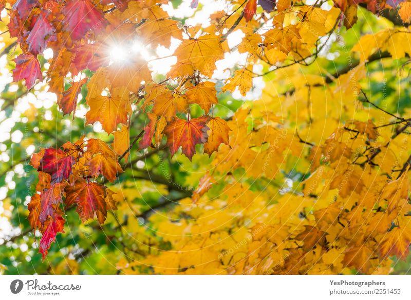 Natur Baum rot Blatt gelb Herbst Umwelt natürlich hell gold Schönes Wetter Jahreszeiten Postkarte Tapete Konsistenz Atmosphäre