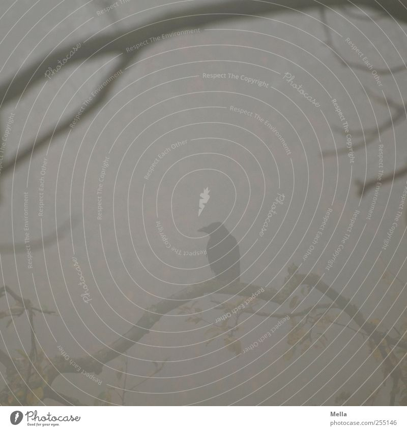 Nevermore Umwelt Natur Pflanze Tier Herbst Winter Nebel Baum Ast Vogel Krähe Rabenvögel Aaskrähe 1 hocken Blick sitzen warten dunkel natürlich grau Stimmung