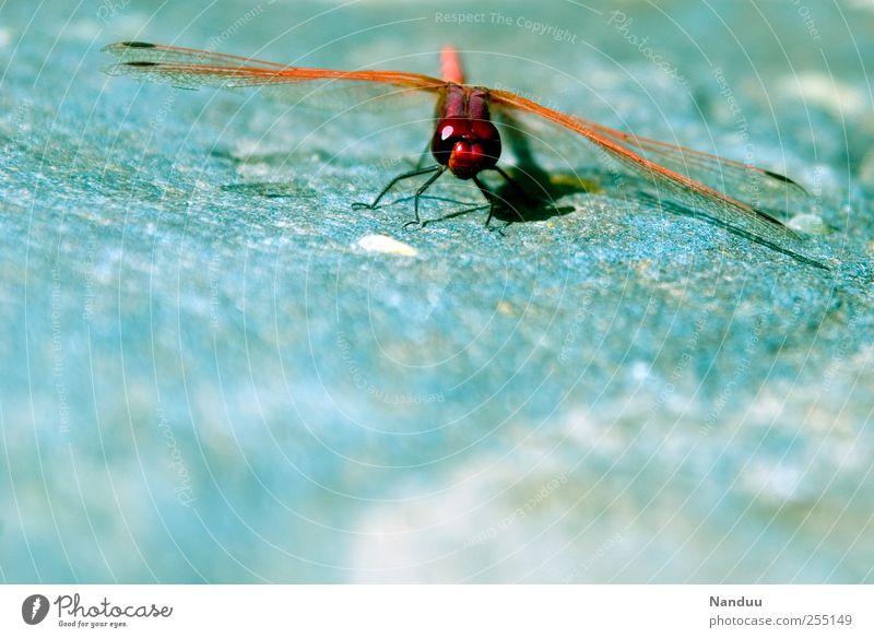 Hubschrauber rot Tier Insekt Abheben Libelle markant