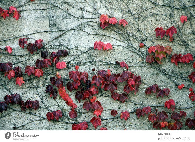 wallflowers Natur Pflanze rot Haus Herbst Wand Umwelt grau Mauer Gebäude Fassade Wachstum Vergänglichkeit Umweltschutz Vorfreude Efeu