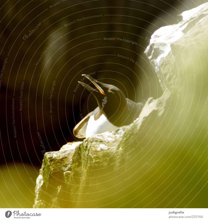 Island Umwelt Natur Tier Felsen Wildtier Vogel Tiergesicht Lummen Trottellummen 1 natürlich wild Leben brütend Farbfoto Außenaufnahme Licht Unschärfe
