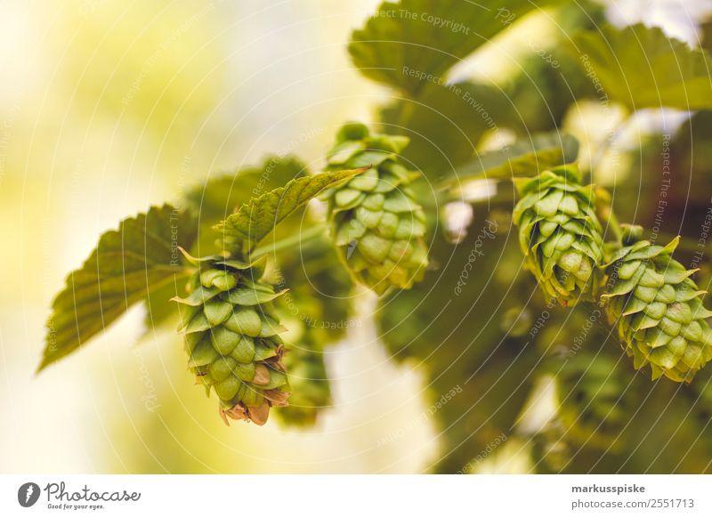 Bio Hopfen Fränkische Schweiz Natur Sommer Pflanze grün Landschaft Gesundheit Lebensmittel Umwelt Wachstum Schönes Wetter Blühend Bier Duft Alkohol Nutzpflanze