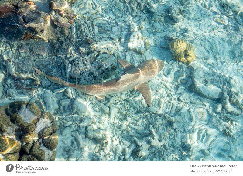 Riffhai Tier 1 ästhetisch sportlich blau braun grau türkis weiß Haifisch Malediven Schwimmsport schön Korallen Meerwasser Schwimmhilfe kuramathi Stein Riffhaie