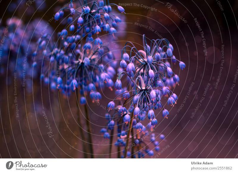 Blüten der wilden Zwiebel Natur Sommer blau Pflanze Blume Erholung ruhig Leben Herbst Feste & Feiern Garten Design Zufriedenheit Dekoration & Verzierung