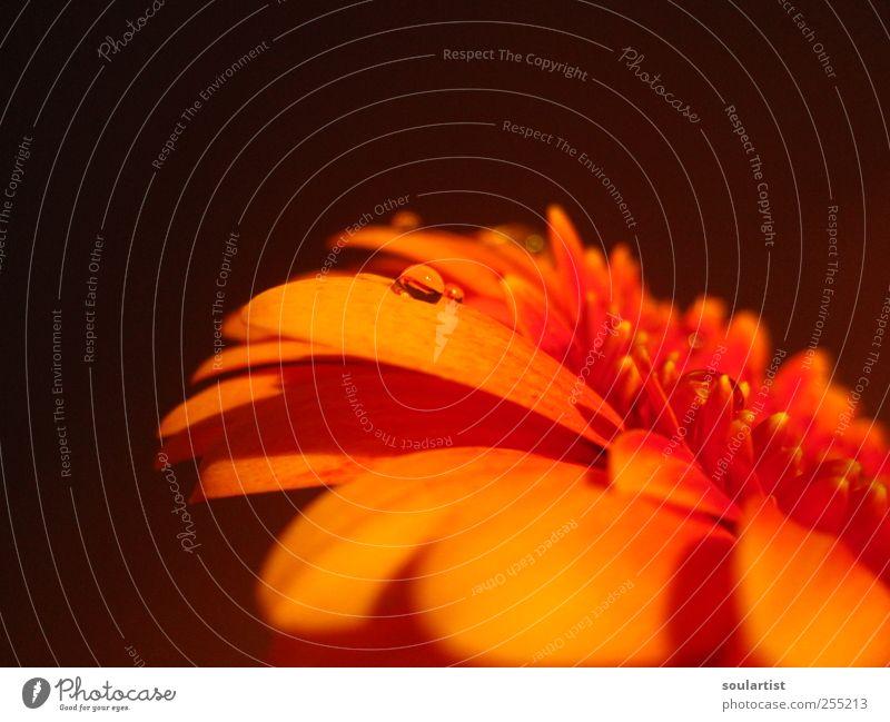 Summer Drops Natur Pflanze schön Sommer Wasser Blume Erholung rot gelb Blüte Frühling Freundschaft Zufriedenheit Wachstum frisch Wassertropfen