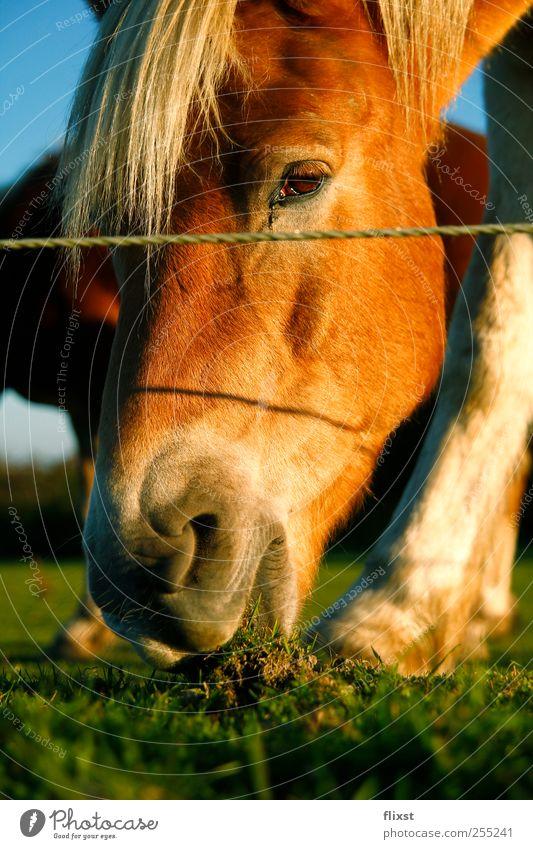 Abendessen Sonne Sommer Tier Ernährung Gras Feld Pferd Tiergesicht Schönes Wetter Appetit & Hunger Interesse Nutztier Wolkenloser Himmel