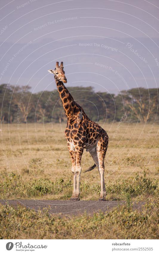 Giraffe im Lake Nakuru Nationalpark, Kenia, Afrika Ferien & Urlaub & Reisen Tourismus Safari Sommer Natur Landschaft Tier Himmel Wolken Gras Park See natürlich