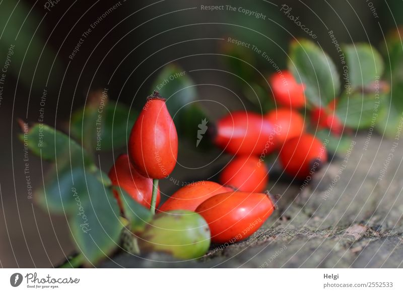 Hagebutten und Eichel Umwelt Natur Pflanze Herbst Blatt Wildpflanze Frucht Eicheln Wald Holz liegen ästhetisch einzigartig natürlich braun grau grün rot