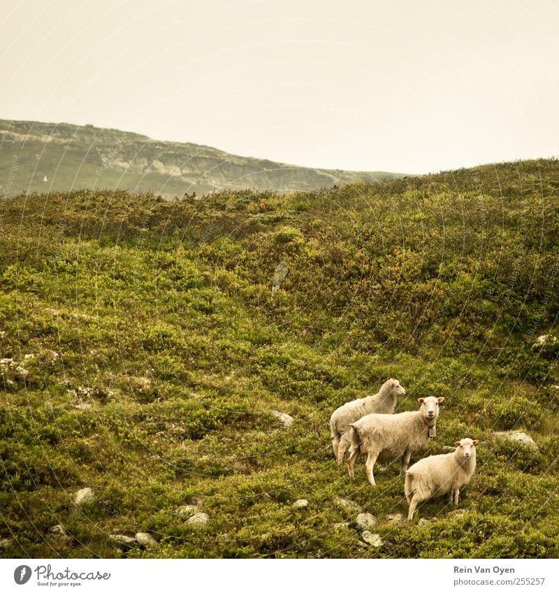 Himmel Natur schön Pflanze Tier Umwelt Landschaft Berge u. Gebirge Gras Horizont Sträucher Tiergruppe beobachten Hügel Schaf Moos
