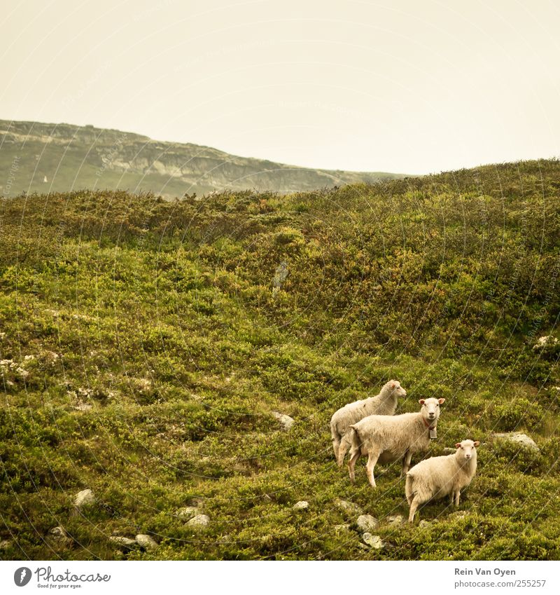 Norwegische Schafe Umwelt Natur Landschaft Pflanze Himmel Wolkenloser Himmel Horizont Gras Sträucher Moos Hügel Berge u. Gebirge Tier Nutztier 3 Tiergruppe