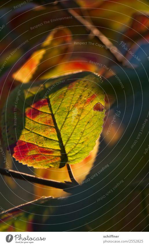 Farbenspiel II Umwelt Natur Pflanze Herbst Schönes Wetter Baum Blatt Wald gelb grün orange rot schwarz herbstlich Herbstlaub Herbstfärbung Herbstwald