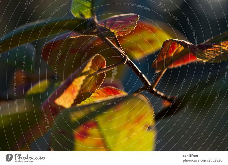 Farbenspiel III Umwelt Natur Pflanze Sonnenlicht Herbst Schönes Wetter Baum Blatt Wald gelb orange rot schwarz herbstlich Herbstlaub Herbstfärbung Herbstwald