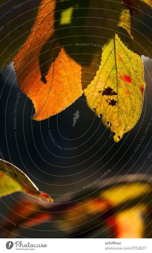 Farbenspiel IV Umwelt Natur Pflanze Sonnenlicht Herbst Schönes Wetter Baum Blatt gelb grün orange rot schwarz herbstlich Herbstlaub Herbstfärbung Herbstwald