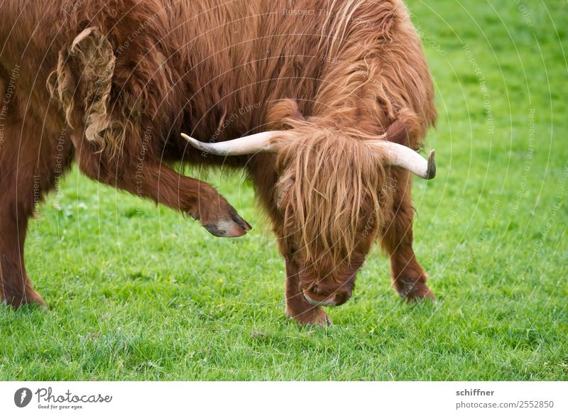 Arthrose | Alterserscheinungen grün Tier Beine braun Kuh Zoo Rind heben Nutztier Gelenk Rindfleisch akrobatisch gelenkig Schottisches Hochlandrind Rinderhaltung