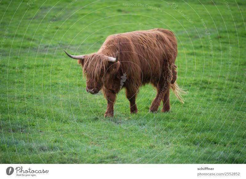 einsam und | verlassen Tier Nutztier Kuh 1 braun grün Rind Rinderhaltung Wiese Weide Gras Schottisches Hochlandrind laufen Spaziergang Einsamkeit einzeln gehen