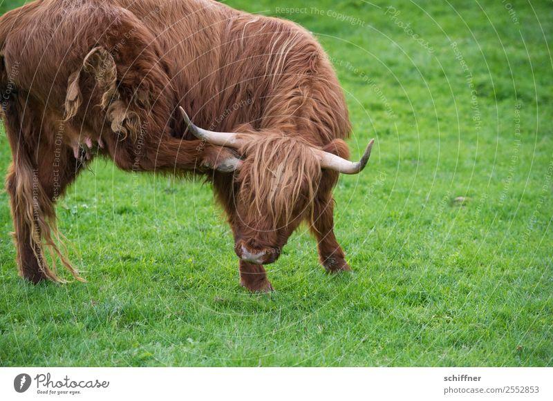 Arthrose weg! grün Tier braun Weide Fell Kuh Zoo Horn Rind Nutztier kratzen Huf Rindfleisch gelenkig Juckreiz Fellfarbe