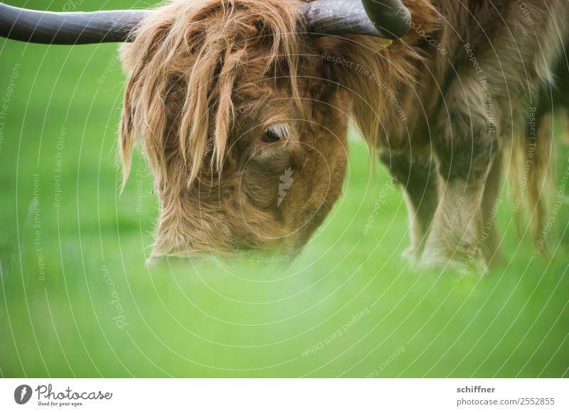 Froschfutterperspektive Tier Nutztier Kuh Zoo 1 Fressen braun grün Rind Rinderhaltung Schottisches Hochlandrind Weide Außenaufnahme Menschenleer