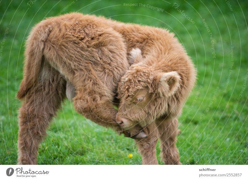 Du hast da was am Huf Tier Haustier Nutztier Kuh Zoo Streichelzoo 1 Tierjunges Fitness schön braun grün Schottisches Hochlandrind Kalb Weide verrenken Baby