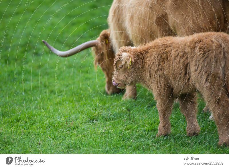 Mahlzeit Tier Nutztier Kuh Zoo 2 Tierjunges Tierfamilie braun grün Rind Rinderhaltung Schottisches Hochlandrind Kalb Weide Wiese Zunge Nasenloch lecker