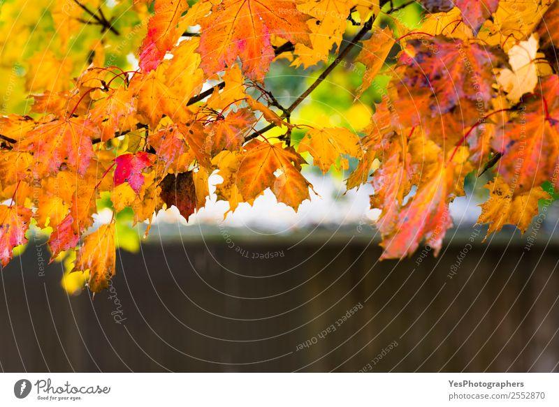 Natur schön Baum rot Blatt gelb Herbst Umwelt natürlich Design hell gold nass Jahreszeiten Postkarte Tapete