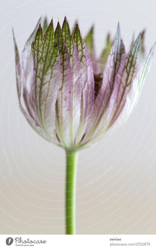 Blüte einer Sterndolde in rosa und grün vor weißem Hintergrund Große Sterndolde Blühend klein Spitze Pflanze Doldenblütler Astantia Hüllblatt Studioaufnahme