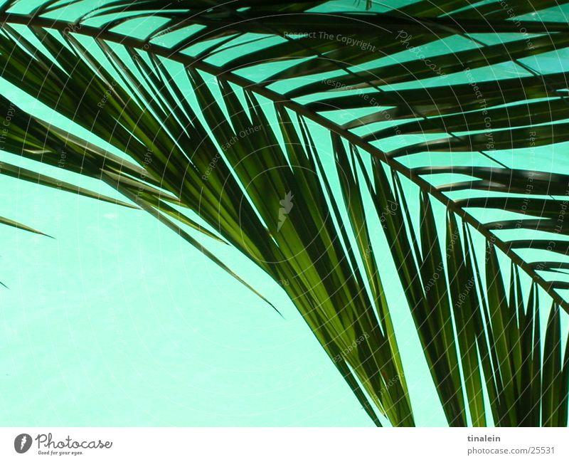 Poolpalme Palme Schwimmbad türkis Blatt Palmenwedel Hintergrundbild Ferien & Urlaub & Reisen Strand Wasser Perspektive
