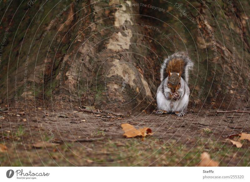 autumn squirrel Eichhörnchen Wildtier Tiergesicht Tierfuß Fressen Herbsttag niedlich natürlich Futter Pfote Eiche Baumstamm Herbstlaub braun Nagetier Nagetiere