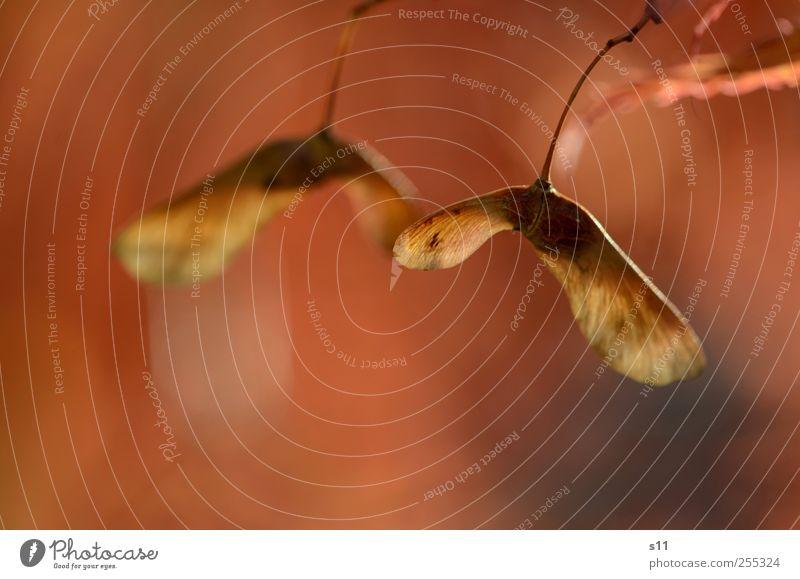 Herbstbild Umwelt Natur Pflanze Baum alt hängen ästhetisch schön Wärme Gefühle ruhig Ahorn Blüte Propeller Samen rot braun Gold Glanzlicht Warmherzigkeit