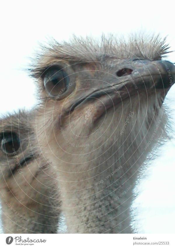 Doppelpack 2 Vogel Afrika Zoo Neugier Blumenstrauß Anschnitt Zwilling Wildnis Südafrika