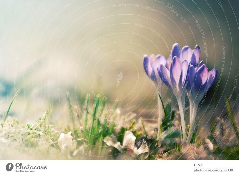 für Dich solls bunte Bilder regnen Umwelt Natur Landschaft Pflanze Frühling Schönes Wetter Blume Blüte Krokusse Blühend Duft Wachstum hell schön Lebensfreude