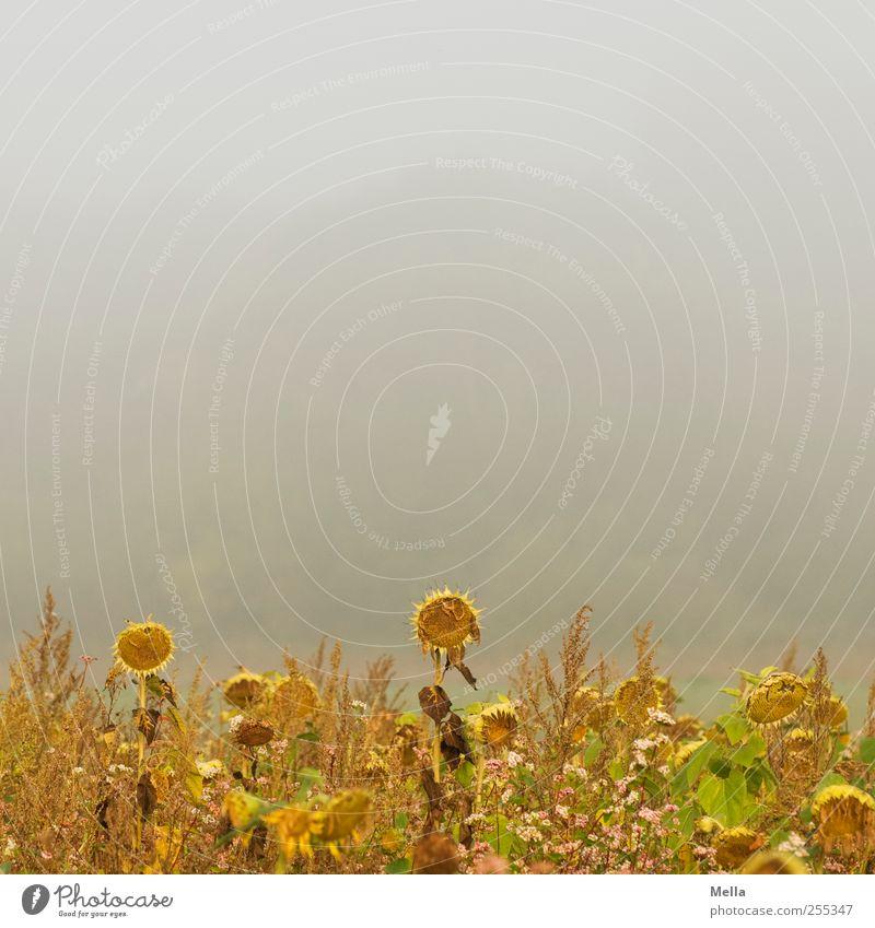 Für Dich soll's bunte Bilder regnen Umwelt Natur Pflanze Nebel Blume Sonnenblume Sonnenblumenfeld Feld Blühend verblüht Wachstum trist Verfall Vergangenheit