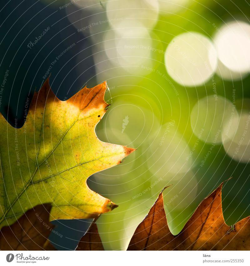 für dich soll´s bunte bilder regnen! *spitzentreffen* Natur Pflanze Herbst Blatt glänzend braun gelb grün Vergänglichkeit Wandel & Veränderung Eichenblatt