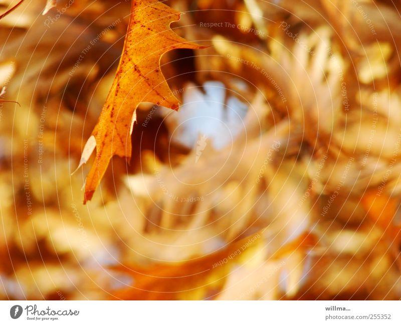 Herbstblatt Natur Pflanze Schönes Wetter Blatt Eiche Eichenblatt Roteiche braun gelb herbstlich Herbstfärbung Herbstlaub Blätterdach Farbfoto Außenaufnahme