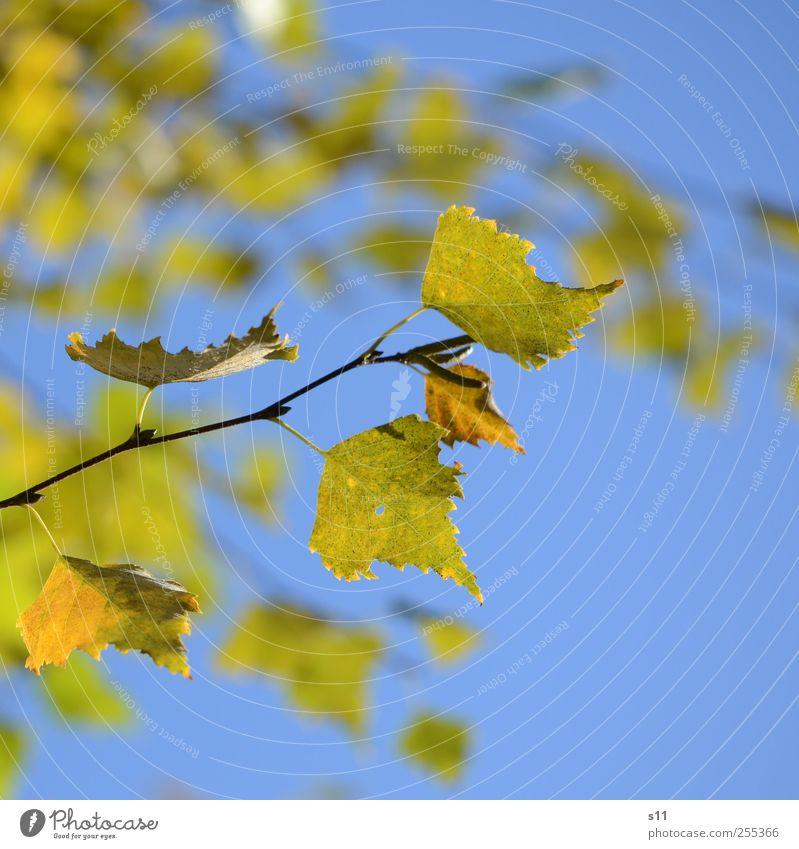 Für dich solls bunte Blätter regnen... Umwelt Natur Pflanze Blatt alt hängen elegant schön blau gelb grün Herbst Herbstlaub Spitze Zacken Ast Vergänglichkeit