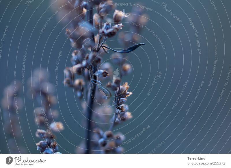 Für dich solls verspätete bunte Bilder regnen alt blau Pflanze Winter Herbst dunkel Leben kalt Tod grau Blüte Frost welk verschrumpelt