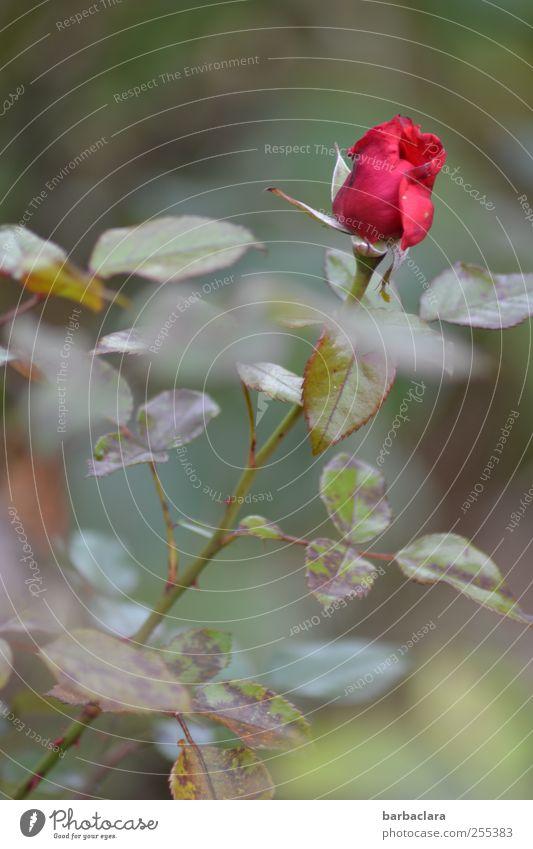 Für dich soll's rote Rosen regnen Natur Herbst Blume Blatt Blüte Garten Blühend ästhetisch natürlich schön Gefühle Romantik Duft Farbe Stil Farbfoto
