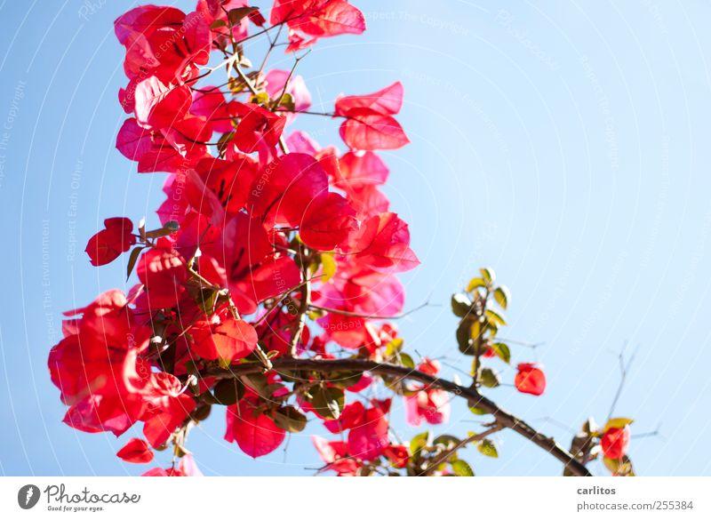 Für dich soll's bunte Bilder regnen Pflanze Wolkenloser Himmel Sommer Schönes Wetter Blume Bougainvillea Blühend ästhetisch rot grün blau Blüte Glückwünsche