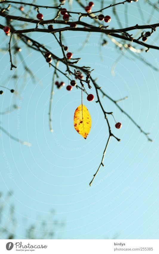 Für dich solls bunte Bilder regnen Natur Pflanze Himmel Wolkenloser Himmel Herbst Schönes Wetter Baum Blatt leuchten ästhetisch positiv schön blau gelb