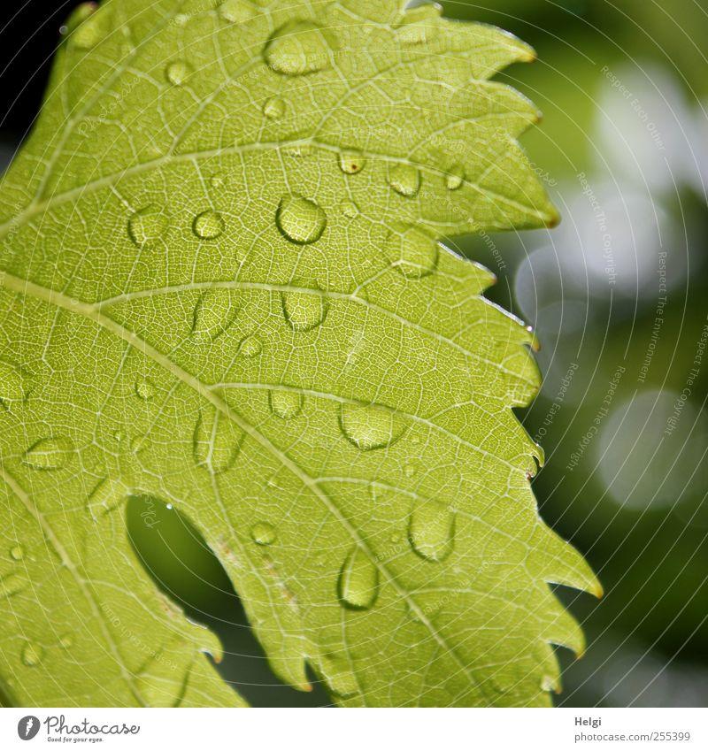 für dich solls bunte Bilder regnen... Umwelt Natur Pflanze Sommer schlechtes Wetter Regen Blatt Nutzpflanze Weinblatt hängen Wachstum ästhetisch einfach frisch
