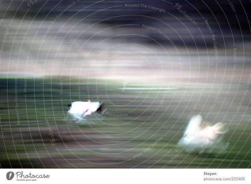 Laufende Hunde Tier Haustier 2 Freundlichkeit Fröhlichkeit kalt kuschlig Bewegungsunschärfe rennen Feld Gras Jack-Russell-Terrier Farbfoto Luftaufnahme abstrakt