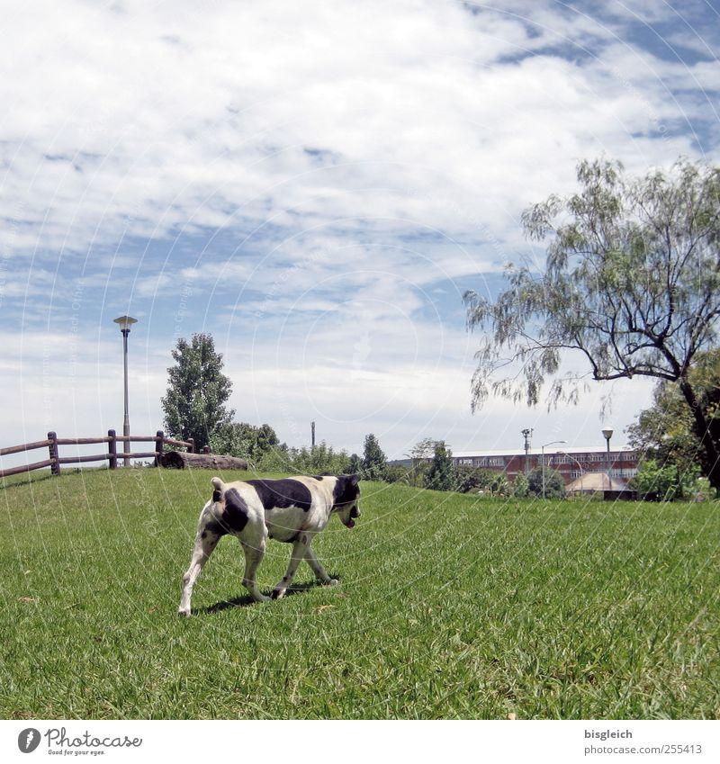 Hundekuh Himmel Baum Gras Wiese Weide 1 Tier laufen blau grün schwarz weiß Farbfoto Außenaufnahme Menschenleer Tag
