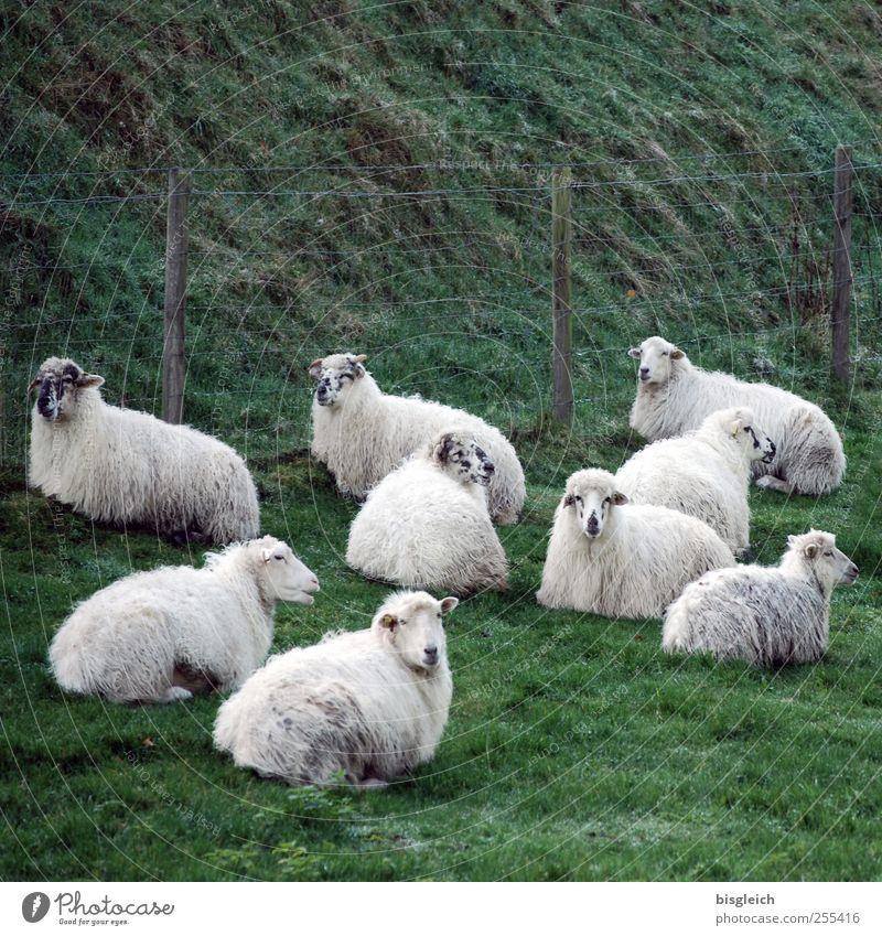 Schafe Wiese Weide Tiergruppe Herde liegen Blick grün weiß Zufriedenheit Gelassenheit ruhig Farbfoto Gedeckte Farben Außenaufnahme Menschenleer