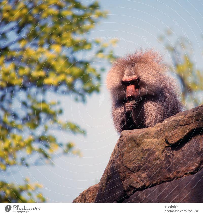 Alphatier II Tier Wildtier Zoo Affen Pavian 1 sitzen blau grau grün dominant Kraft Zufriedenheit Farbfoto Außenaufnahme Menschenleer Tag Schwache Tiefenschärfe